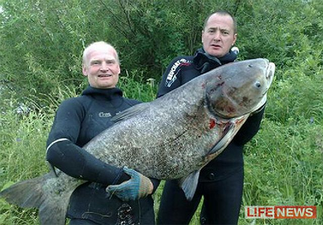огромный толстолобик на ростовском море