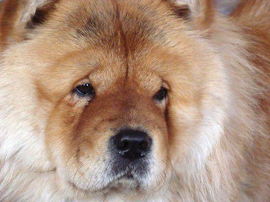 Чау чау – собака лизнувшая небо