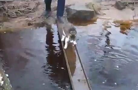 Кот смешно переходит ручей