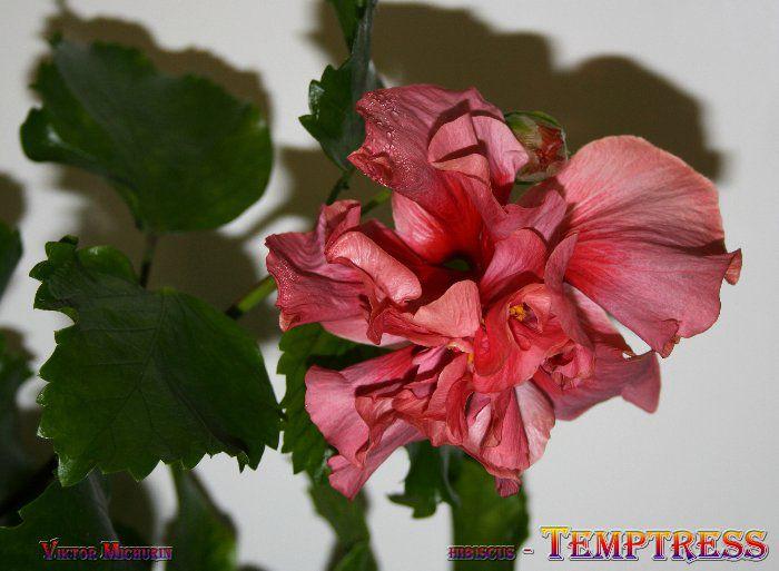temptress-5a.jpg