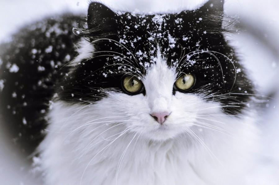 Снежный котейка