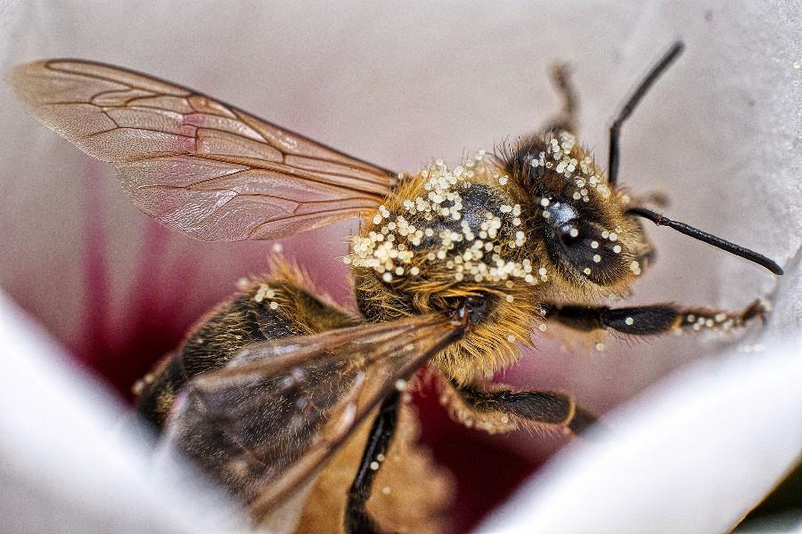 Пчела в макро