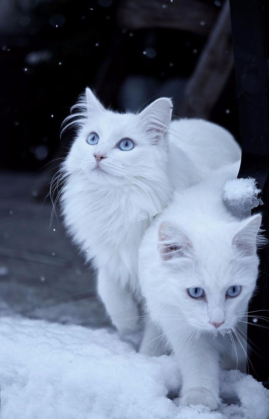 Белые котейки