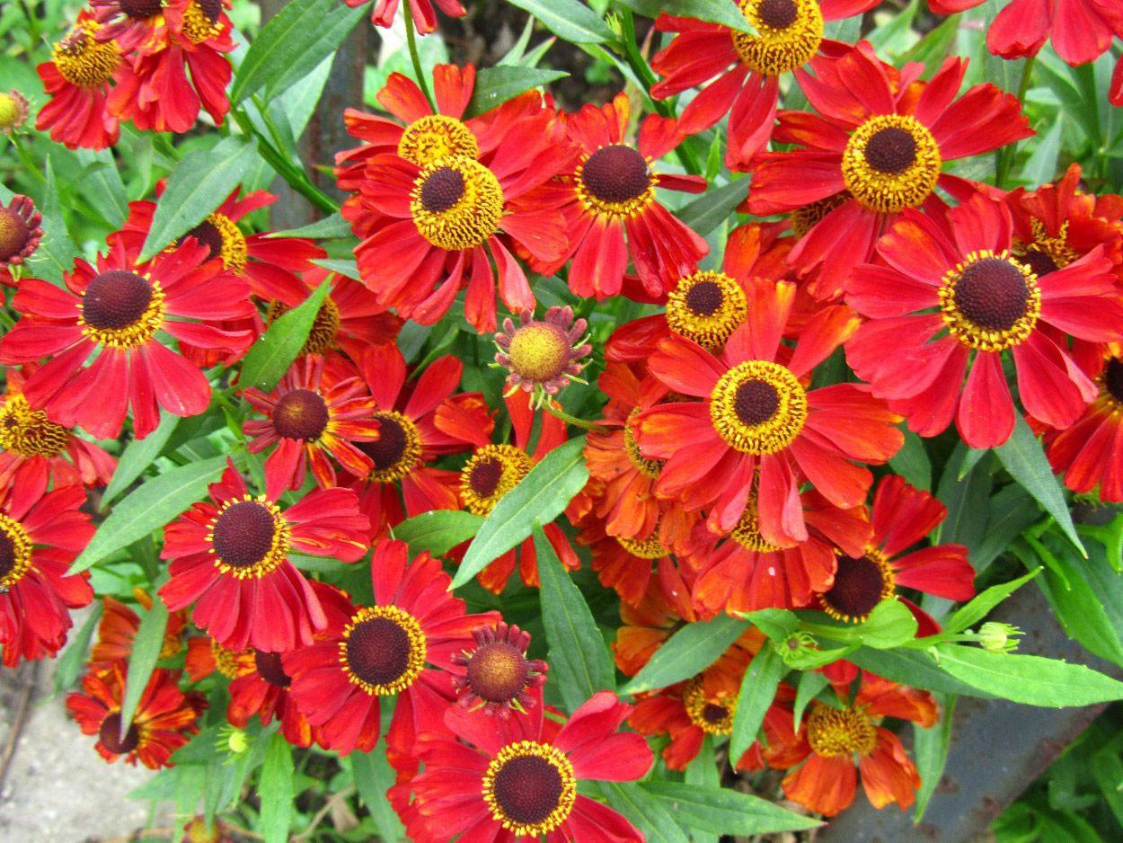 Дачные осенние цветы названия и фото