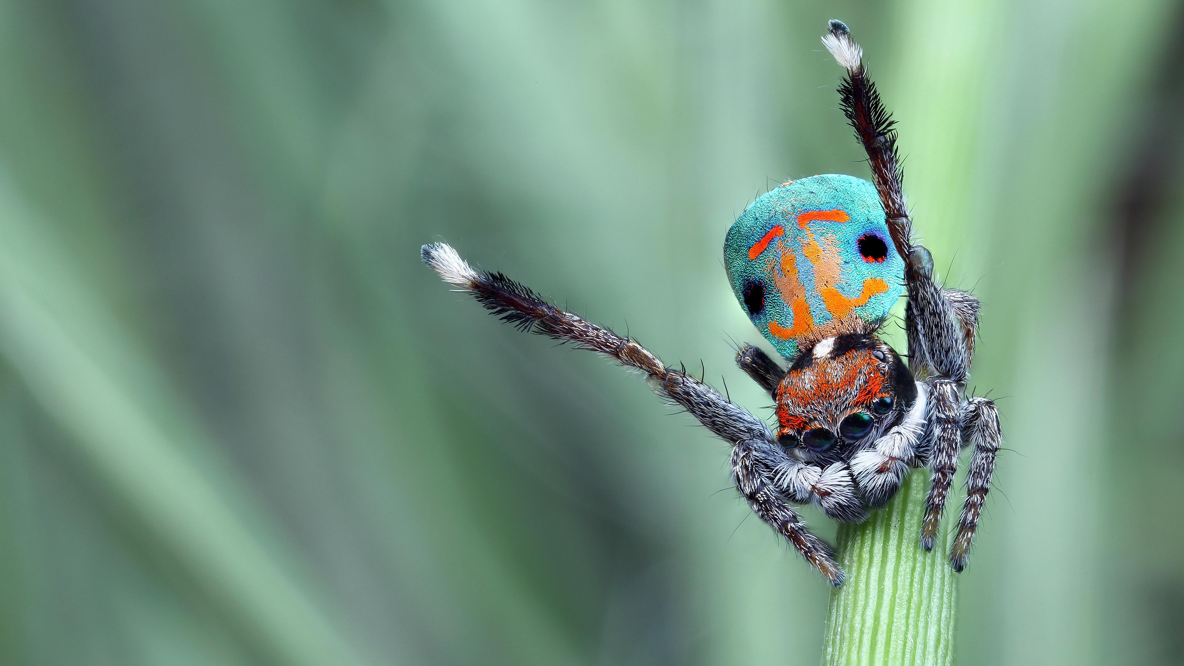 Обои для рабочего стола - Лихие пауки - скакуны [3840x2160] [50шт.] (2017/JPG)