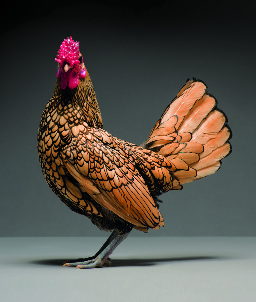 Chickens-are-just-stunning-5a97d325f2ff7__880.jpg