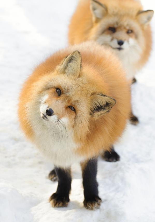 Пушистые лисички