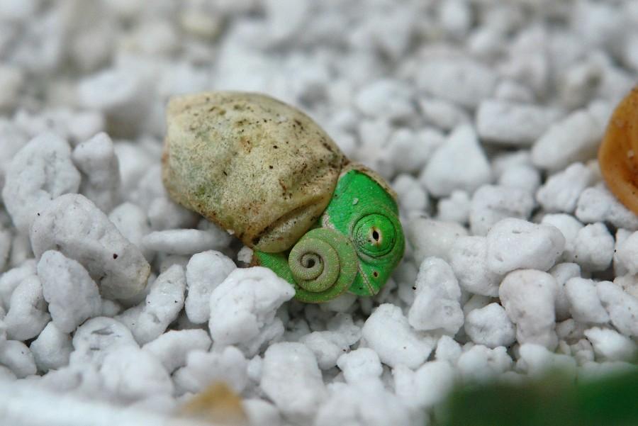Малыш хамелеон