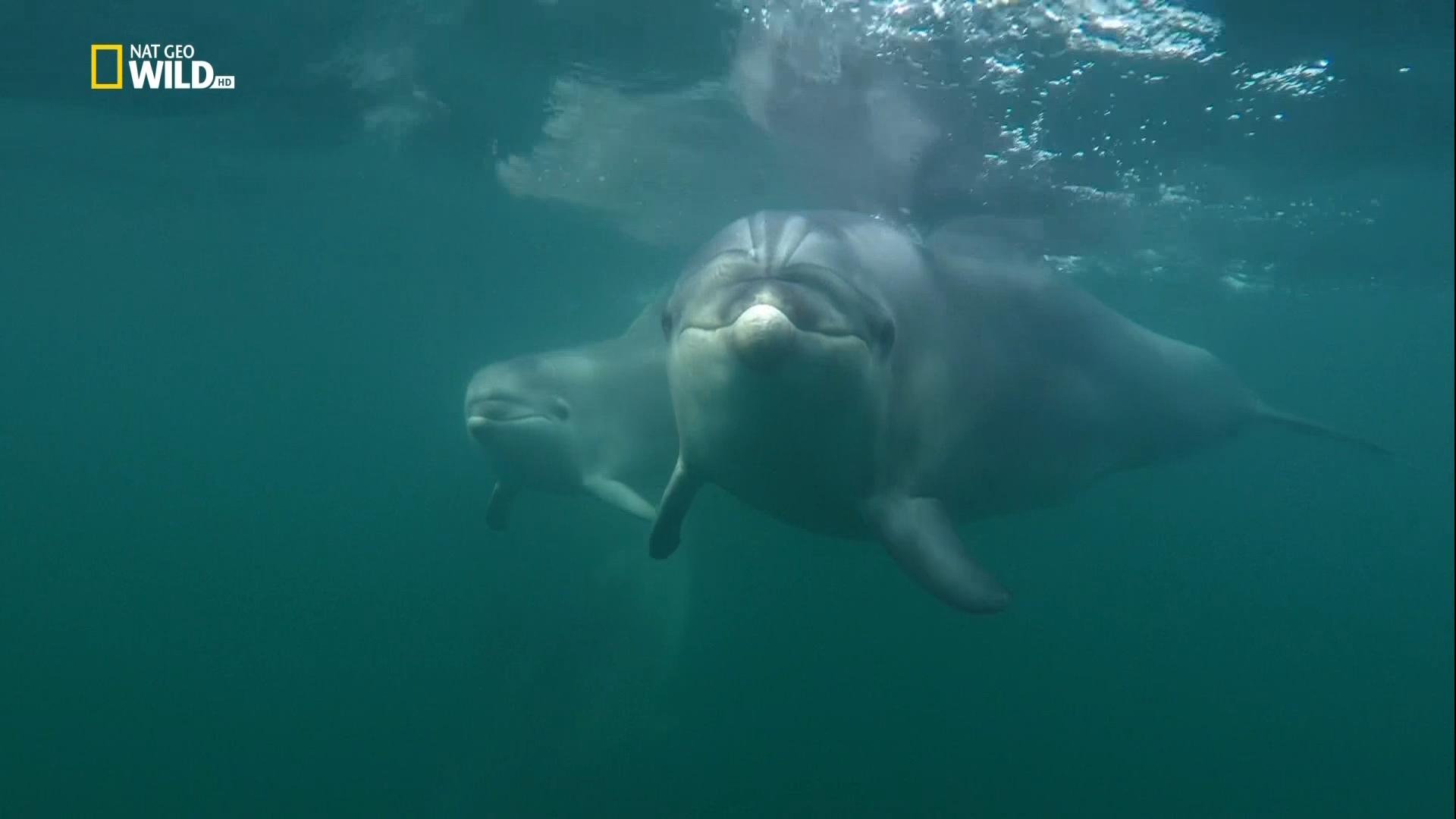 Дикие дельфины / Wild Dolphins (2017/HDTV) 1080i