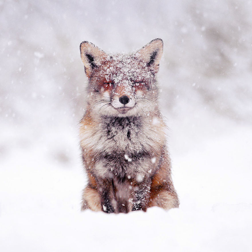 fox-in-the-snow-1-5c18abc8e3749__880.jpg