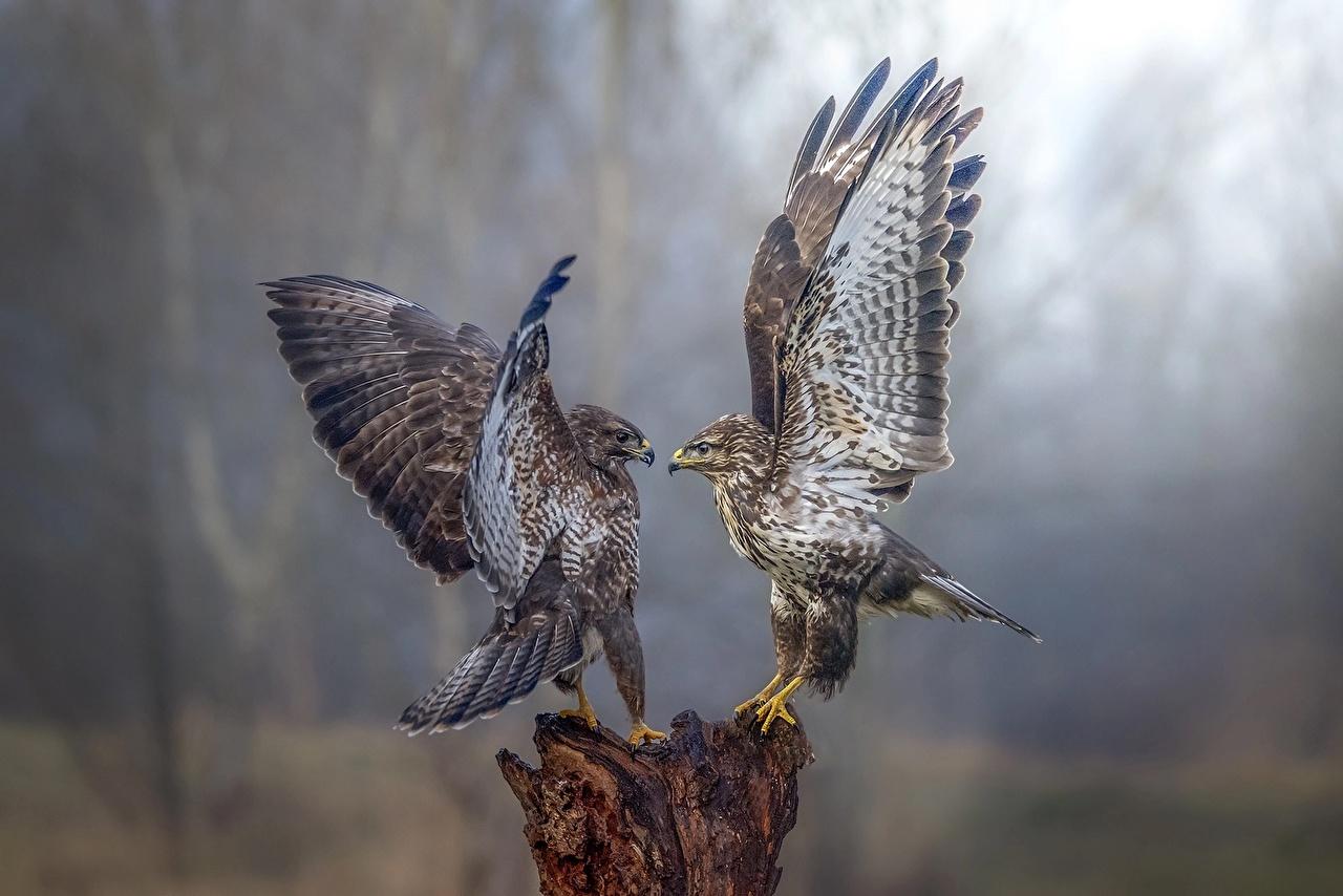 Birds_Falcon_Two_Wings_543090_1280x854.jpg