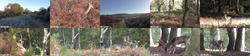 77d45ab8f7cfb9cd6e8481ab4d09f463 - Fallow Deer Buck Mates With Female!!! (Animal Sex)