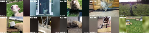 b613c23a5c2b1e85213dd6f9863129bf - Sheep And Goats Can Be Super Funny  Funny Animal Compilation